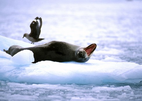 Leopard Seal Hydrurga Leptonyx And Antarctic Skua Catharacta Maccormicki Antarctica Peter Prokosch Grid Arendal