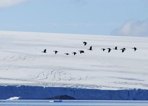 Imperial Shags Phalarcrocorax Atriceps Antarctic Peninsula Peter Prokosch Grid Arendal
