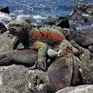 Unique Assemb Marine Iguanas (Amblyrhynchus Cristatus) In The Galapagos Islands