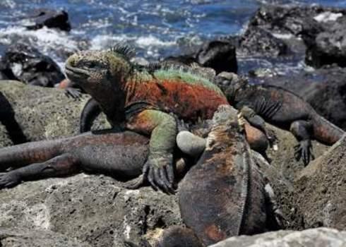 Unique Assemb Marine Iguanas (Amblyrhynchus Cristatus) In The Galapagos Islands