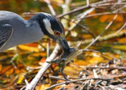 Ecology Crab Impaled By A Yellow Crowned Night Heron Sanibel Island, Florida, Usa Lori Skelton